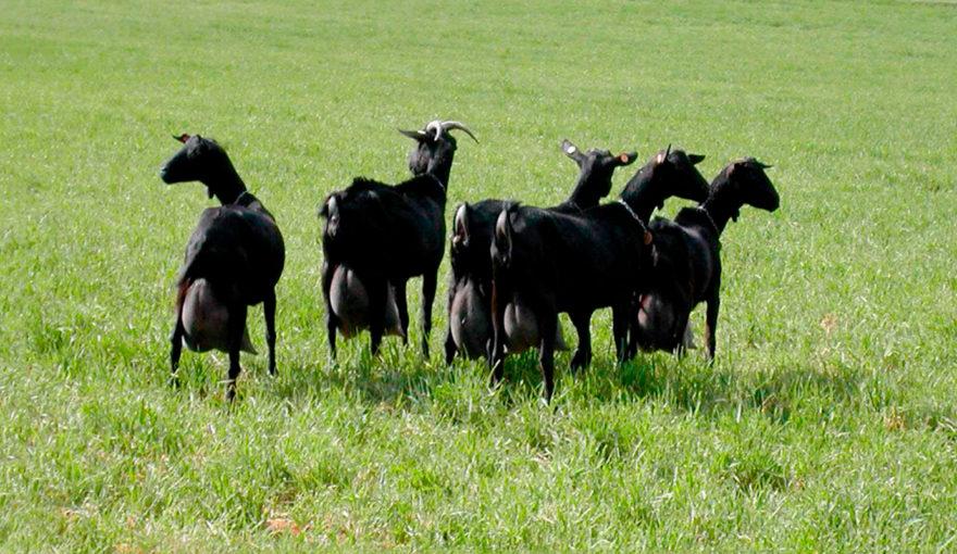 A-disfrutar-de-las-carnes-más-naturales-y-sostenibles,-carne-natural-sostenible,-carne-cabrito-lechal,-carne-cabrito-natural,-cabrito-lechal